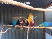 Guacamayos ara ararauna y ara chloropter
