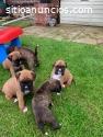 Hermosos cachorros Boxer,
