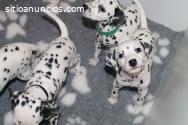 Hermosos cachorros dálmatas,