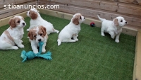 Hermosos cachorros de cavachon
