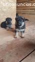 Hermosos cachorros de pastor alemán,