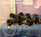 Hermosos cachorros de Rottweiler.