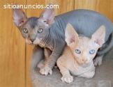 Hogar criado gatitos Sphynx buscando nue
