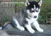 Husky siberiano de buena calidad para u