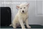 husky siberiano para su aprobación