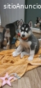 Impresionante cachorro de husky siberian