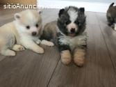 Impresionantes cachorros de Pomsky