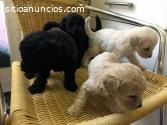 Increíbles cachorros de Labrador