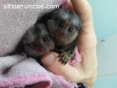Monos tities encantadores disponible