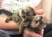 Monos titíes para adopción.