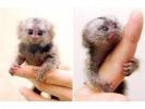 Par de monos tití bebé para su aprobació