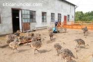 Pollos de avestruz saludables y huevos d