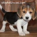 Preciosos Cachorros Beagle Para Adopción
