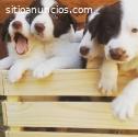Preciosos cachorros de Border Collie,