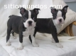 Preciosos cachorros de Boston Terrier en