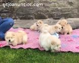 Preciosos cachorros de chow chow,