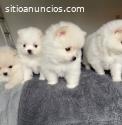Preciosos cachorros de Pomerania disponi