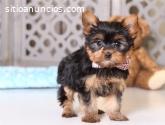Preciosos Cachorros de Yorkshire Terrier