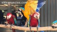 Regalo Azul y oro loros Guacamayos habla