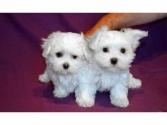 Regalo cachorros de Bichon Maltes Mini