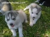 Regalo. . cachorros de husky siberiano p