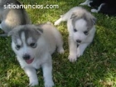 Regalo. . cachorros de husky siberiano