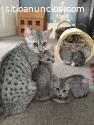 Regalo de Egipcio Mau gatitos