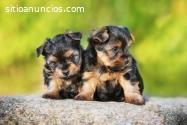 Regalo MINI Cachorros Yorkshire Terrier