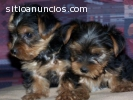 REGALO YORKSHIRE TERRIER TOY
