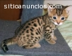 Serval y gatos de Bengala disponibles pa