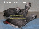 Tres loro gris africano para la adopción