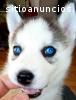 Varón y hembra los perritos Husky siberi