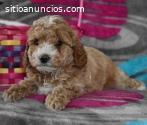 venta de cachorros de caniche toy
