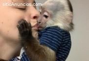 Venta de monos capuchinos bebés intelige