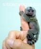 bebé monos tití para su aprobación.