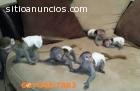 domado monos y chimpancés en venta