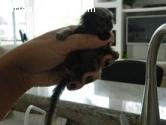 monos bebé marmoset