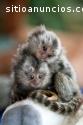 Monos titi bebé para la venta