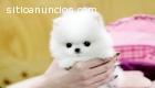 Teacup Pomeranian Puppies For X-Mas