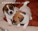Jack Russell cachorros de piernas cortas