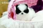 Pomeranian Puppies For A Home
