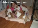 Bulldog Inglés cachorros para su adopció