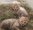 Well Trained Big Cats For Sale