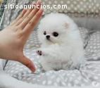 2 Pomeranian yavruları mevcut ..
