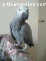 Coppia di Papagiano grigio africano che