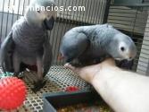 Coppia di Papagiano grigio africano