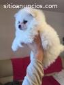 Cuccioli Pomerania disponibili