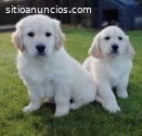 Golden cream retriever puppies for sale