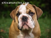 Healthy english bulldog