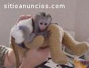 scimmie cappuccino per l`adozione